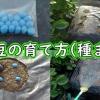 枝豆の種まき