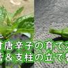 甘唐辛子の摘蕾と支柱の立て替え