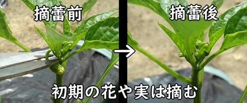 甘唐辛子の蕾を摘蕾する