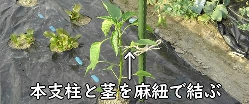甘唐辛子の茎と支柱を麻紐で結ぶ