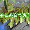 サンチュの収穫