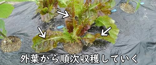 サンチュは外葉から収穫する