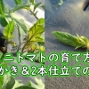 ミニトマトの脇芽かき