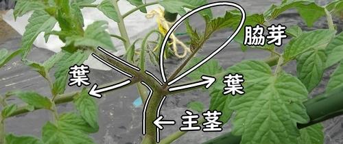 ミニトマトの主茎と葉と脇芽