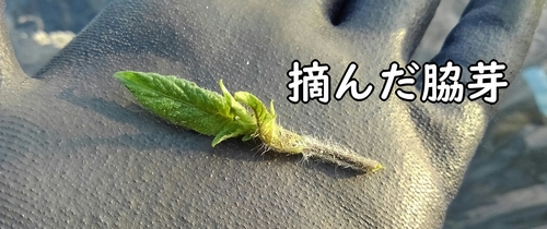 摘んだ脇芽
