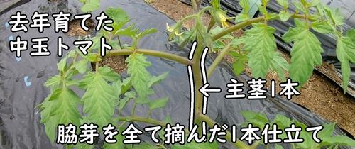 去年のトマト栽培は1本仕立て