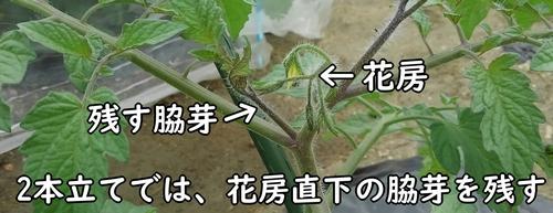 花房直下の脇芽を残す