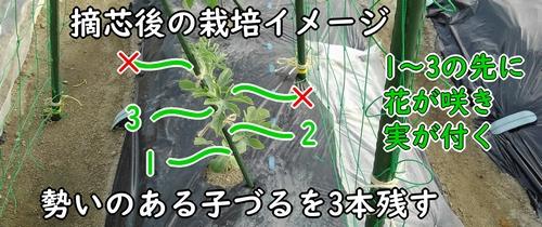 摘芯後の栽培イメージ