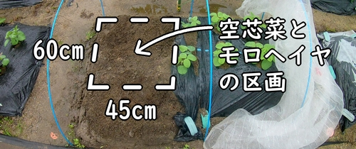 空芯菜とモロヘイヤの栽培区画