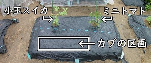 カブを栽培する区画