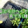 空芯菜とモロヘイヤの育て方(種まき)