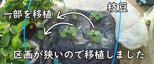 枝豆を移植