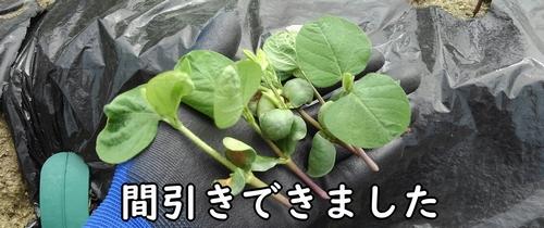 間引いた枝豆の株