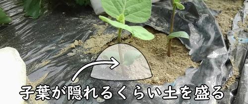 子葉が隠れるくらい土を盛る