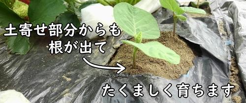 土寄せすると、茎から不定根が出る