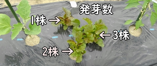 サンチュの発芽数