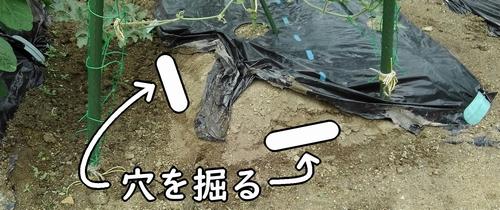 追肥位置に穴を掘る