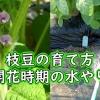 枝豆の水やり