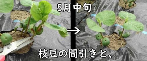 枝豆の間引き