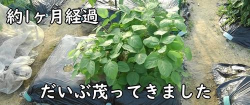 葉が茂った枝豆