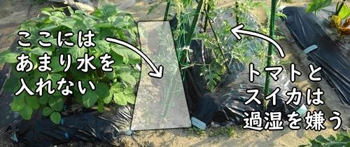 トマトとスイカの畝には水やりしない
