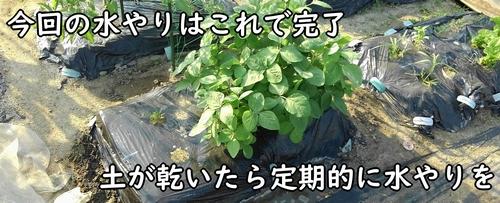 枝豆の実が太るよう、定期的に水やりをする