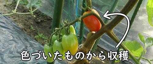 ミニトマトは赤くなったものから収穫