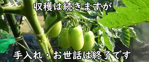 ミニトマトの栽培終了