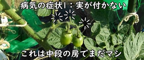 病気になったミニトマト