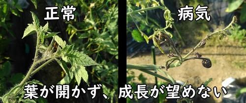 正常な葉と、病気になった葉