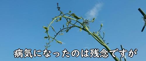 成長が止まったミニトマト