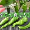 甘唐辛子の収穫