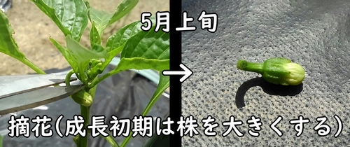 甘唐辛子の摘花