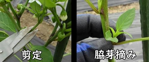 剪定と脇芽かき