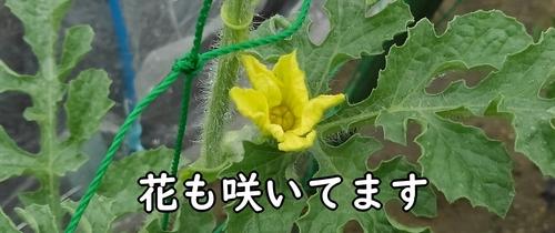 小玉スイカの花