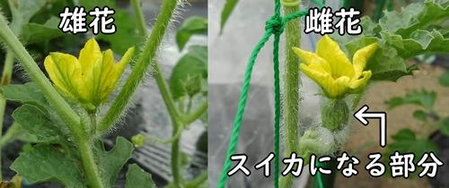 小玉スイカの雄花と雌花