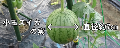 小玉スイカは、直径約7cmまで成長