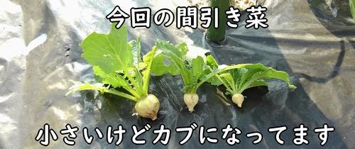 カブの間引き菜