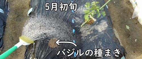 バジルの種まきは5月初旬