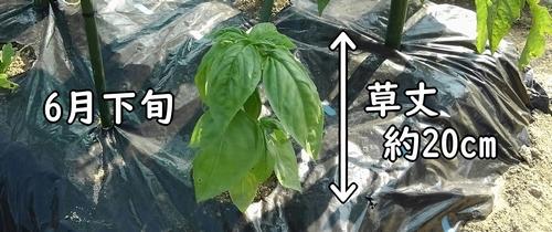 6月下旬、草丈約20cmに成長