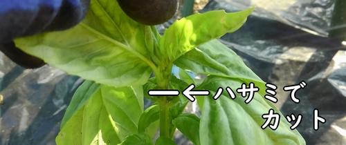 摘芯して脇芽の発生を促す