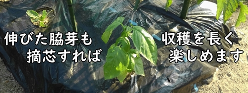 栽培中は摘芯と収穫を繰り返す