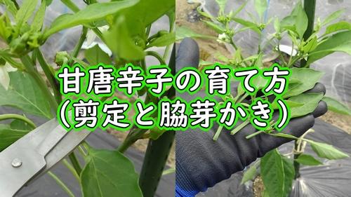 甘唐辛子の剪定と脇芽かき