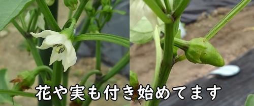 甘唐辛子の花と実