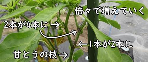 甘唐辛子の枝の増え方