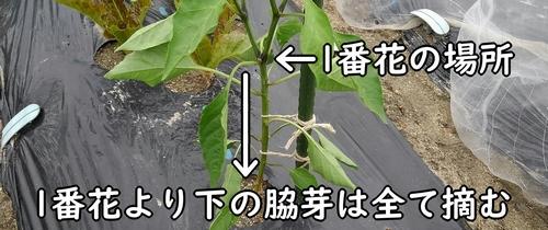 1番花より下の脇芽は全て摘む