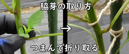 脇芽の摘み方