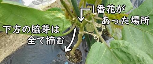 一番花より下の脇芽は摘む