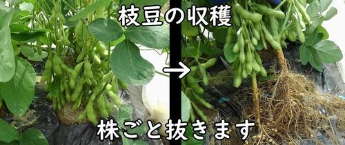 枝豆を根元から抜く