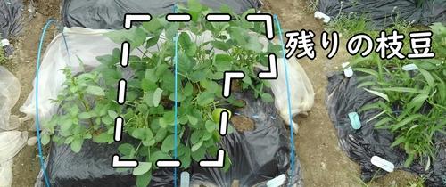 残りの枝豆